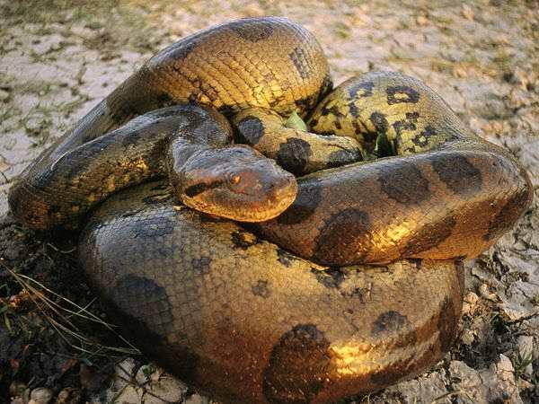 La anaconda, serpiente más grande del mundo